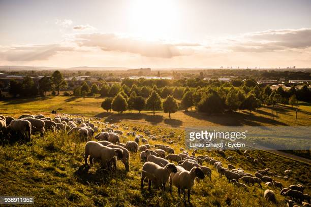 High Angle View Of Sheep On Landscape During Sunset