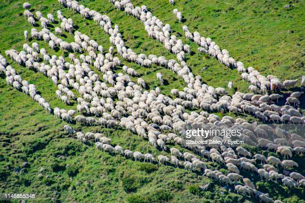 high angle view of sheep standing on field - 羊の群 ストックフォトと画像
