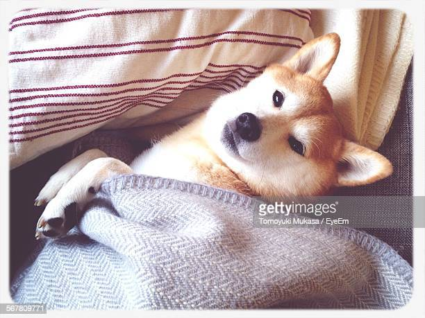 High Angle View Of Shiba Inu In Sheet On Bed At Home