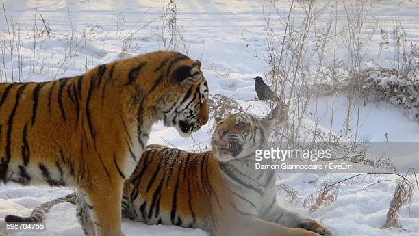High Angle View Of Siberian Tigers On Snow Covered Field