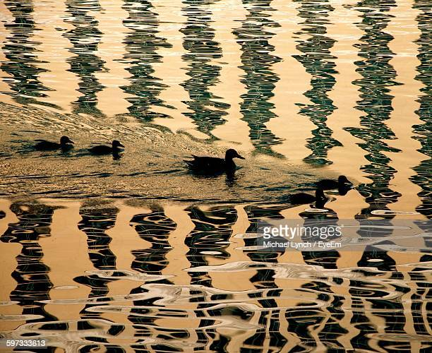 High Angle View Of Silhouette Duck With Ducklings Swimming On Lake During Sunset