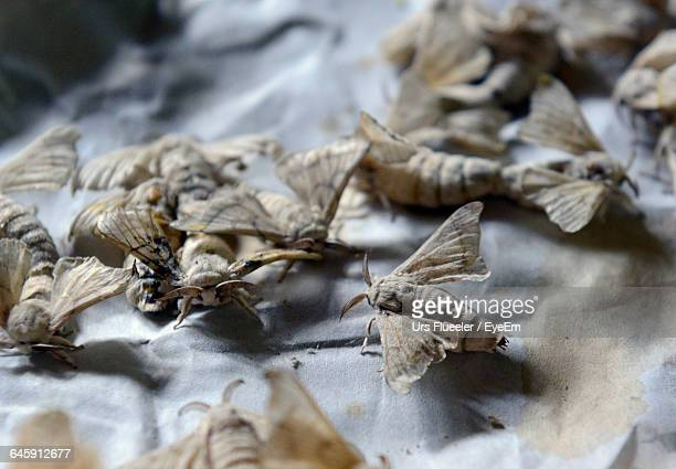 High Angle View Of Silk Moths On Textile