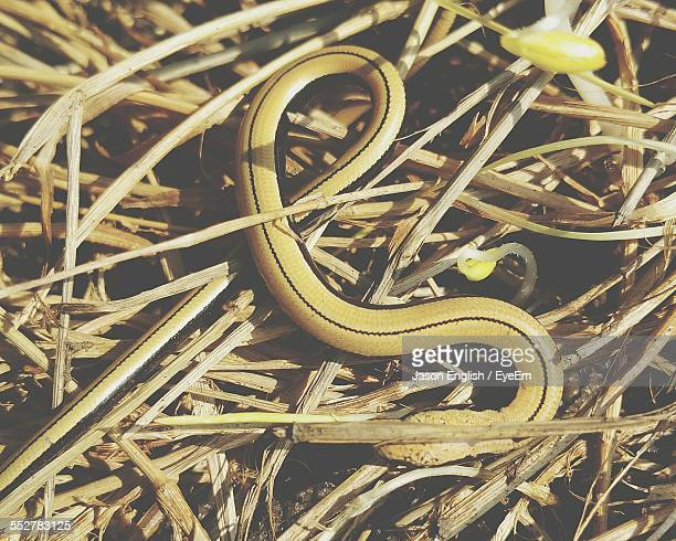 high angle view of slowworm on hay - orvet photos et images de collection