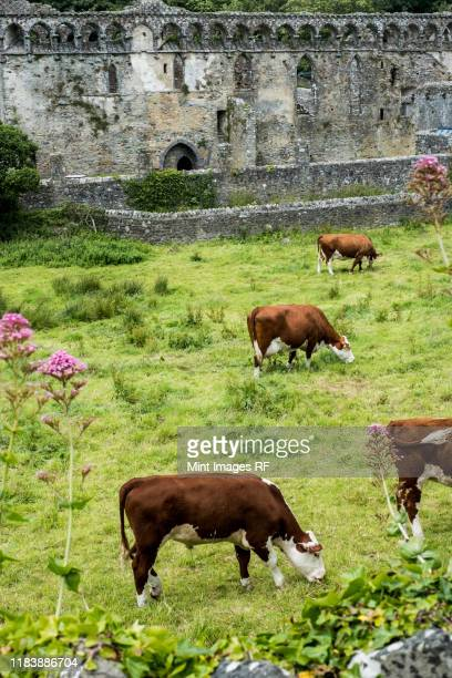 high angle view of small herd of cows grazing near ruins of the bishop's palace, st davids, pembrokeshire, wales, united kingdom. - st davids day stock pictures, royalty-free photos & images