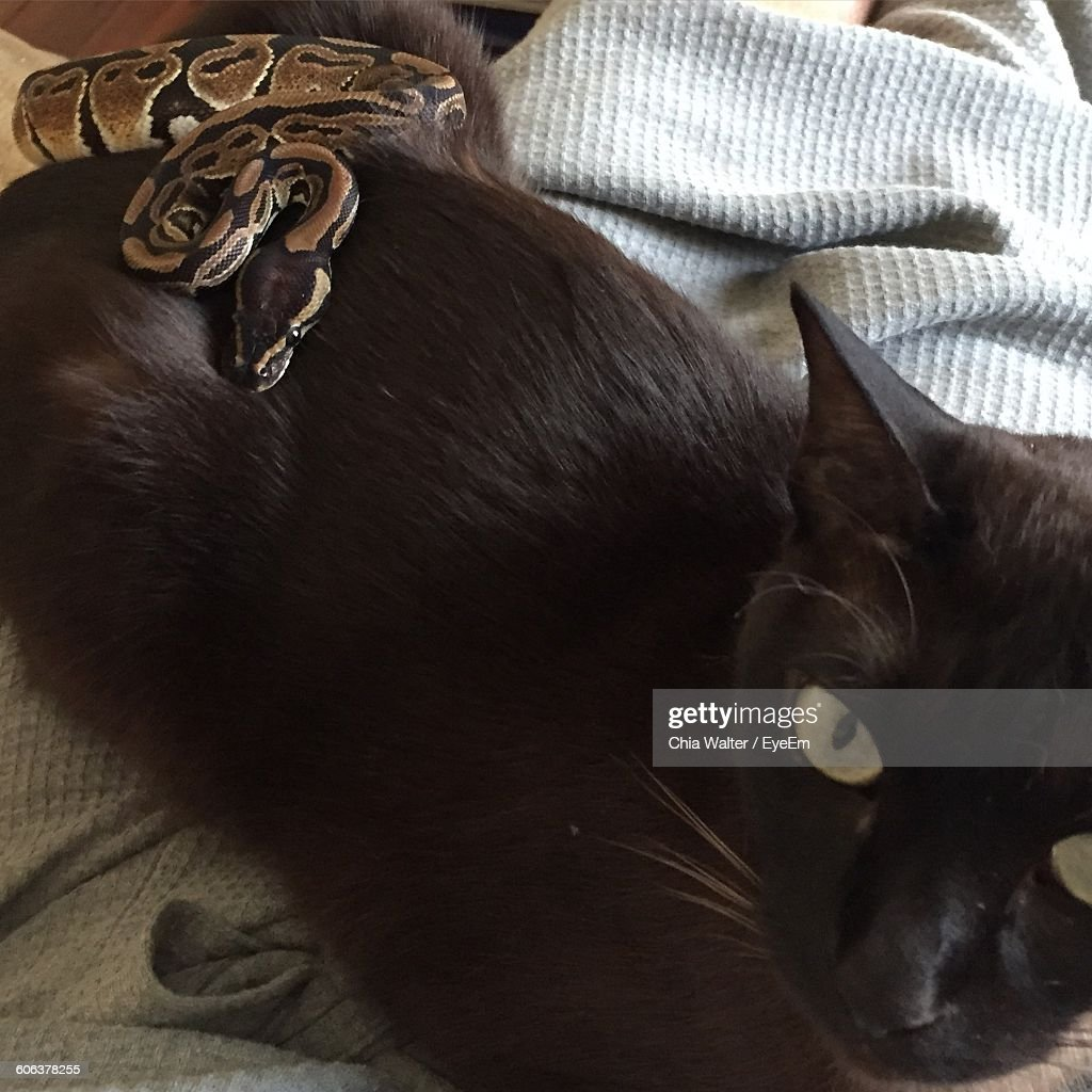 High Angle View Of Snake On Black Cat At Home : Stock Photo