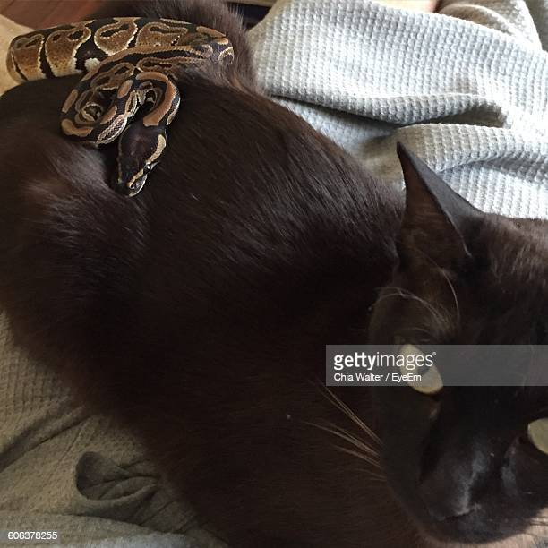 high angle view of snake on black cat at home - cat snake stock photos and pictures