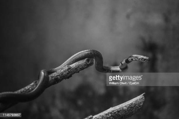 high angle view of snake on branch - kampala stock pictures, royalty-free photos & images