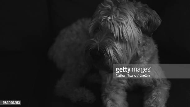high angle view of soft coated wheaten terrier relaxing at home - soft coated wheaten terrier stock photos and pictures