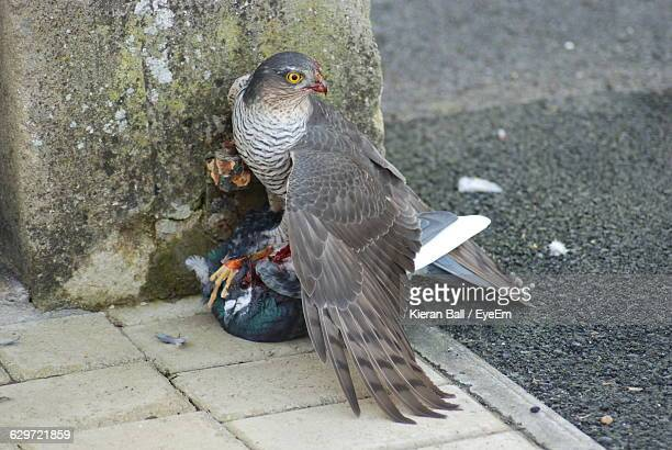 high angle view of sparrow hawk hunting pigeon - sparrow hawk stock pictures, royalty-free photos & images