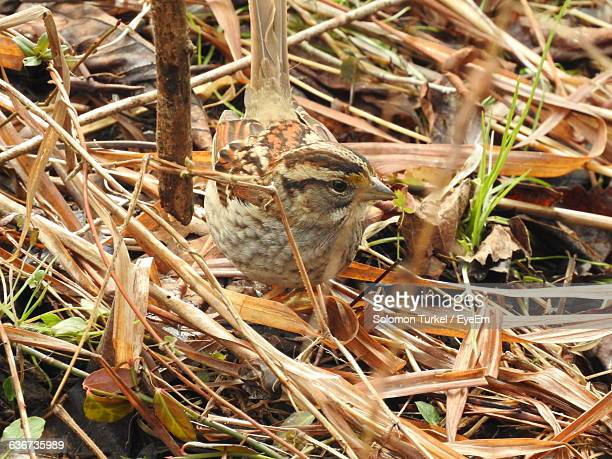 high angle view of sparrow on field - solomon turkel stock pictures, royalty-free photos & images