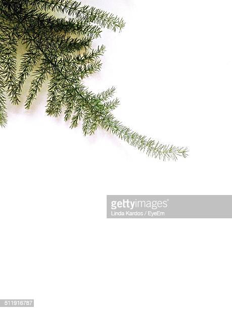 High angle view of spruce tree branch against white background