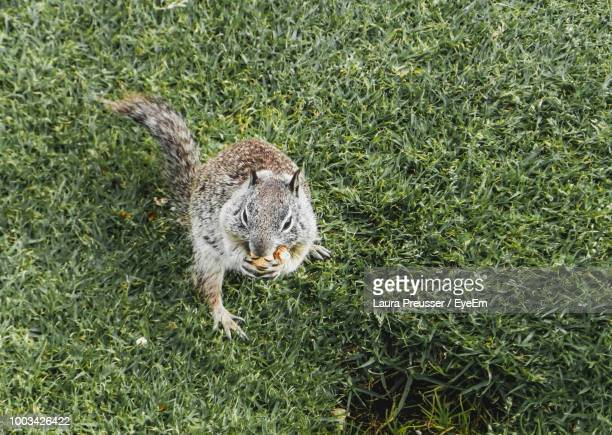 High Angle View Of Squirrel Eating On Field