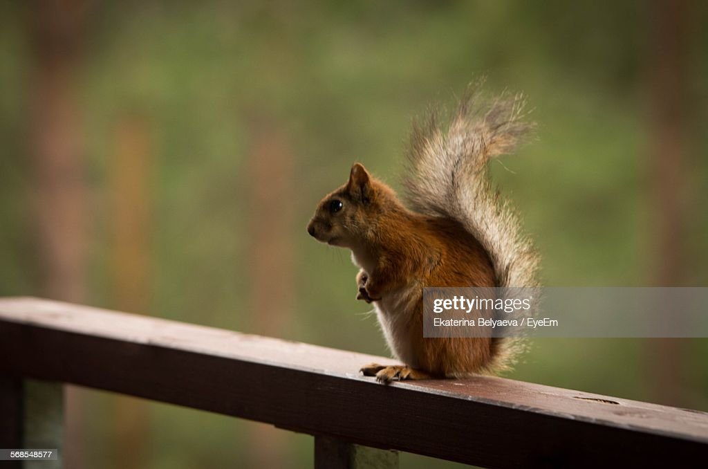 High Angle View Of Squirrel On Railing : Stock Photo