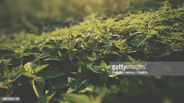 High Angle View Of Stinging Nettles Growing On Field