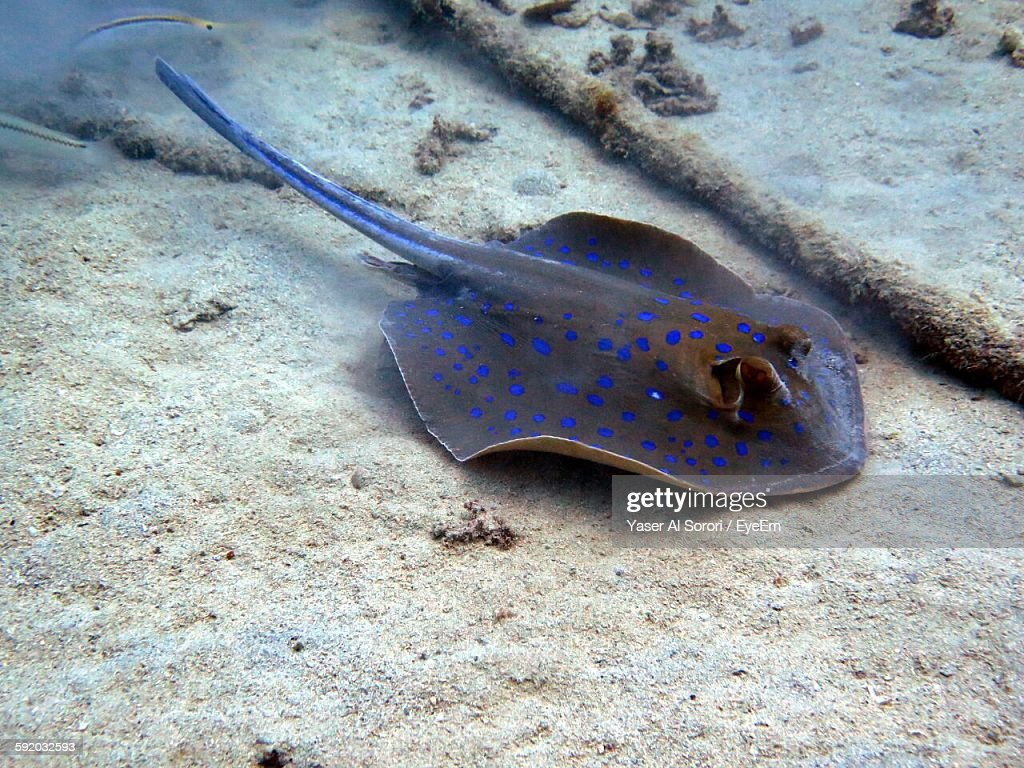stingray stock photos and pictures getty images