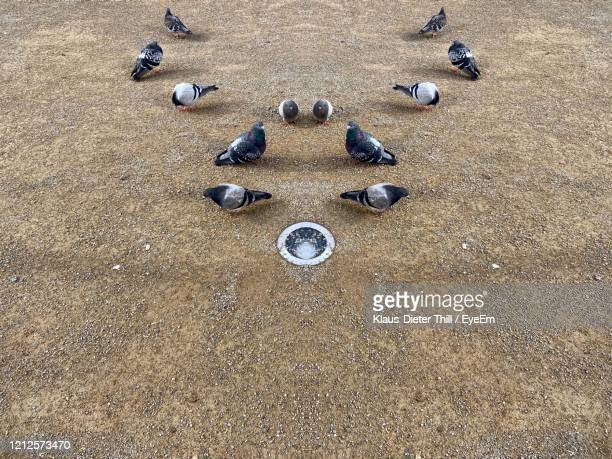 high angle view of stones on sand and doves - klaus-dieter thill stock-fotos und bilder