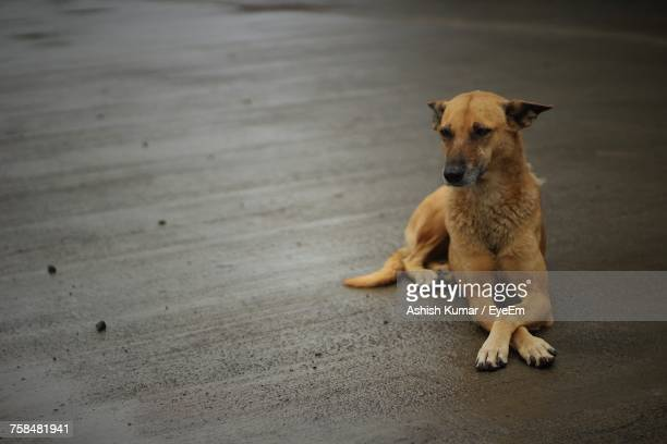 High Angle View Of Stray Dog Relaxing On Road