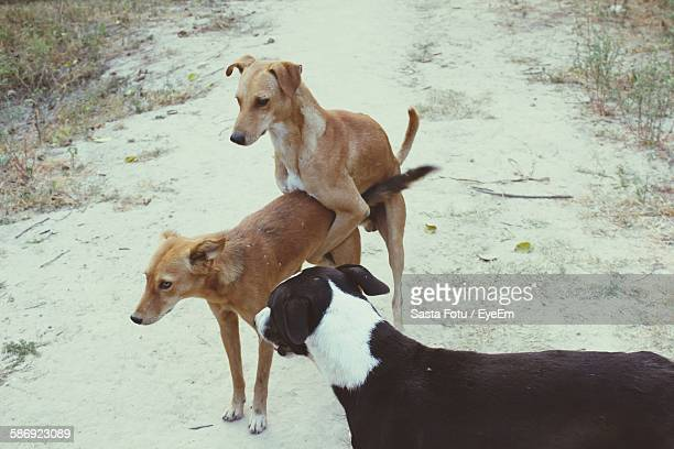 High Angle View Of Stray Dogs Mating On Field