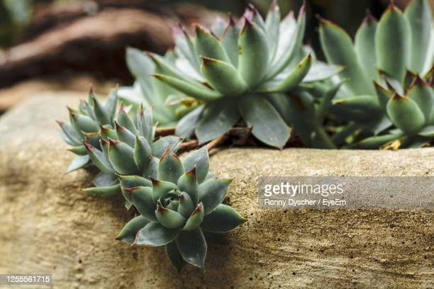 high angle view of succulent plant on field - manacor stock pictures, royalty-free photos & images