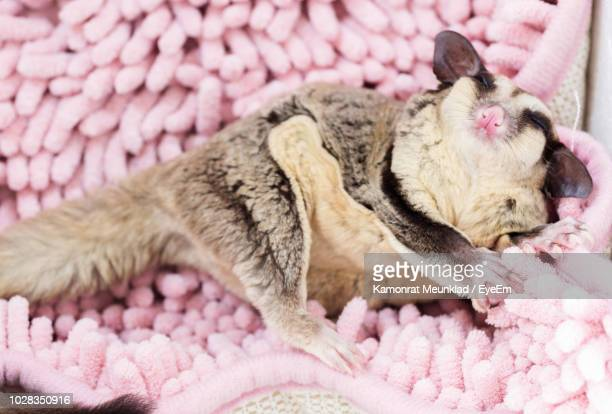 high angle view of sugar glider relaxing on rug - sugar glider stock photos and pictures