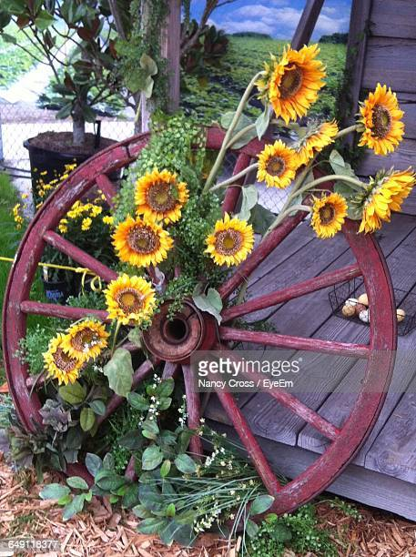 high angle view of sunflowers on abandoned wheel in back yard - plant city stock pictures, royalty-free photos & images