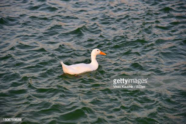 high angle view of swan swimming in lake,al khor,qatar - al khor ストックフォトと画像