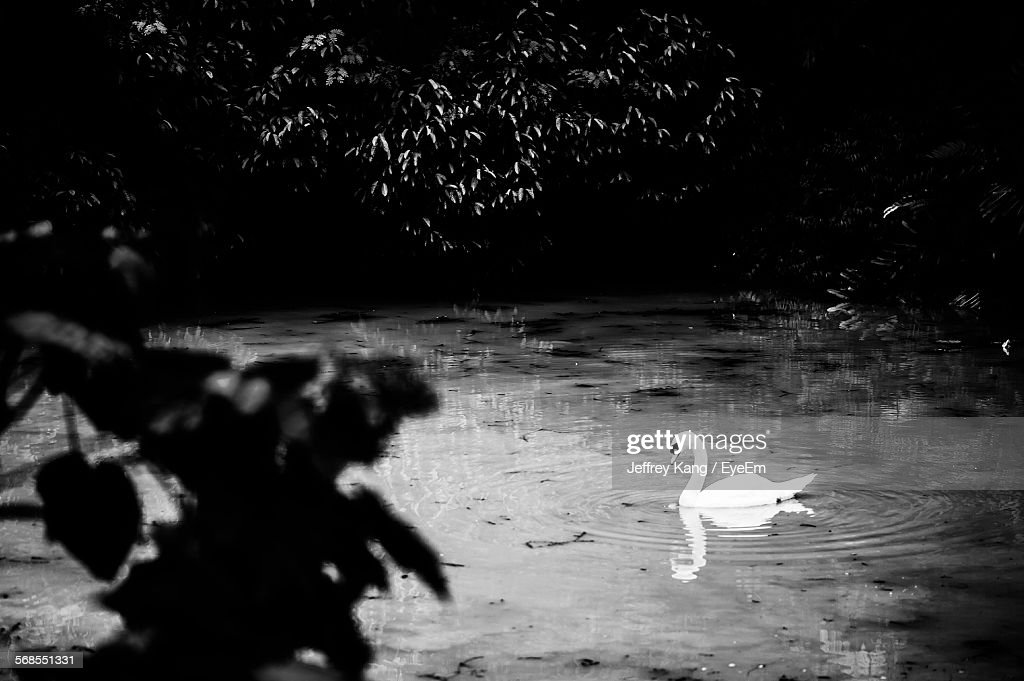 High Angle View Of Swan Swimming On Lake : Stock Photo