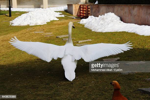 High Angle View Of Swan With Spread Wings On Field
