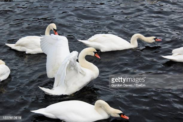high angle view of swans floating on lake - stockton on tees stock pictures, royalty-free photos & images