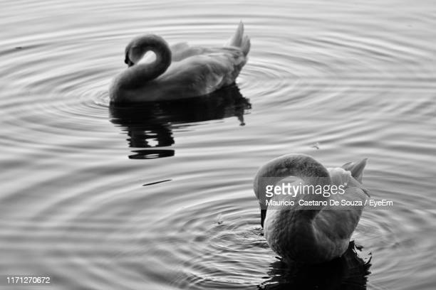high angle view of swans swimming in lake - mauricio caetano de souza stock photos and pictures
