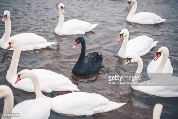 high angle view of swans swimming in lake - swan stock pictures, royalty-free photos & images