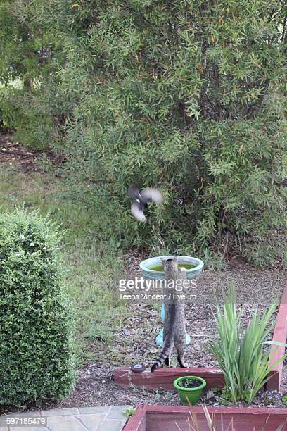 High Angle View Of Tabby And Willy Wagtail By Plants