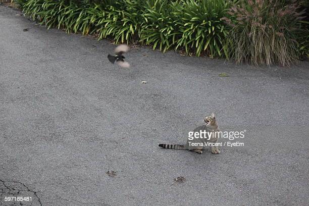 High Angle View Of Tabby And Willy Wagtail On Road