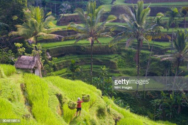 high angle view of terraced rice fields, man walking down path, carrying baskets on his shoulders. - reisterrasse stock-fotos und bilder