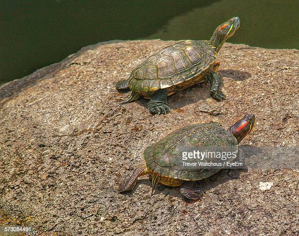 High Angle View Of Terrapin Turtles On Rock By Water In Zoo