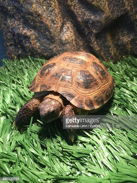 high angle view of tortoise on grassy field - tortue photos et images de collection
