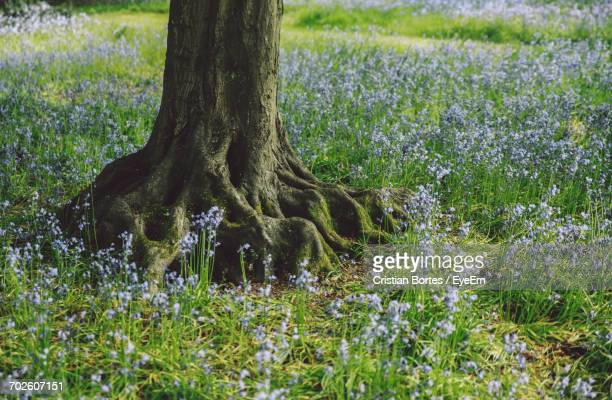 high angle view of tree amidst bluebells flowers in forest - bortes stockfoto's en -beelden