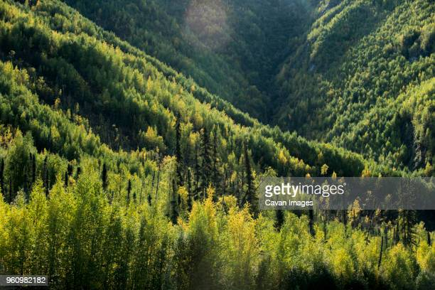 high angle view of trees growing in forest at yukon_charley rivers national preserve - charley green stock pictures, royalty-free photos & images