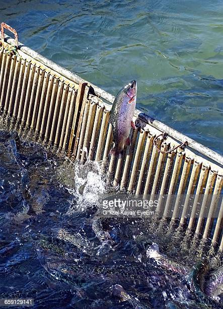 High Angle View Of Trout Jumping By Railing In Sea