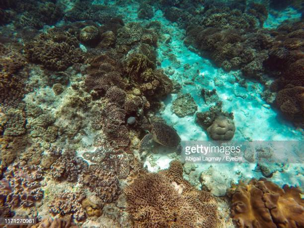 high angle view of turtle and coral in sea - negros oriental stock pictures, royalty-free photos & images