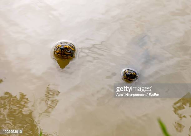 high angle view of turtle in lake - apisit hiranpornpan stock pictures, royalty-free photos & images