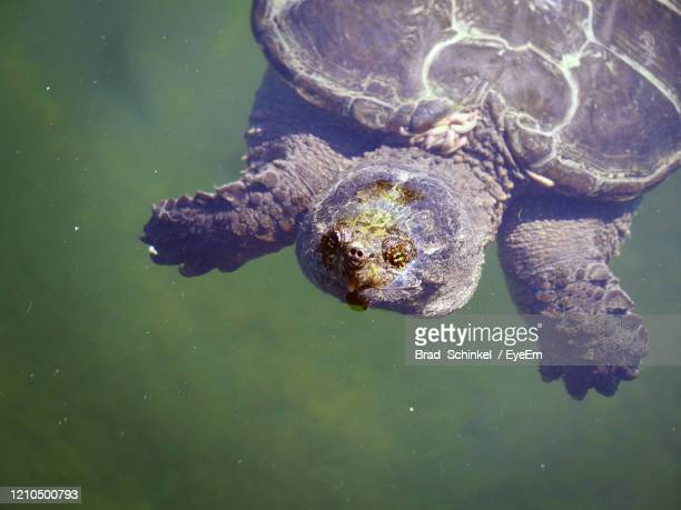 high angle view of turtle in lake - snapping turtle stock pictures, royalty-free photos & images