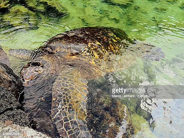 high angle view of turtle in pond - lienhard stock pictures, royalty-free photos & images
