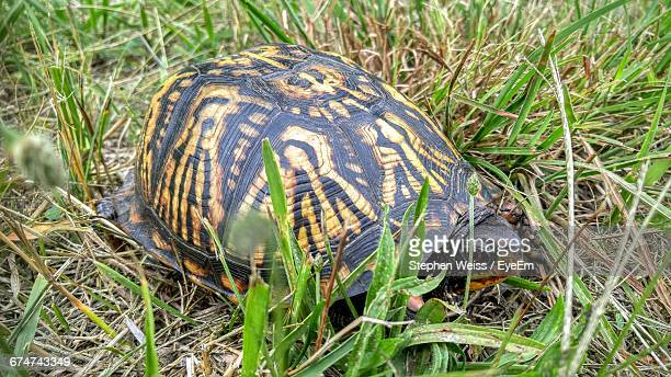 high angle view of turtle on grassy field - chesterton stock photos and pictures