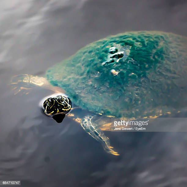 High Angle View Of Turtle Swimming In Pond