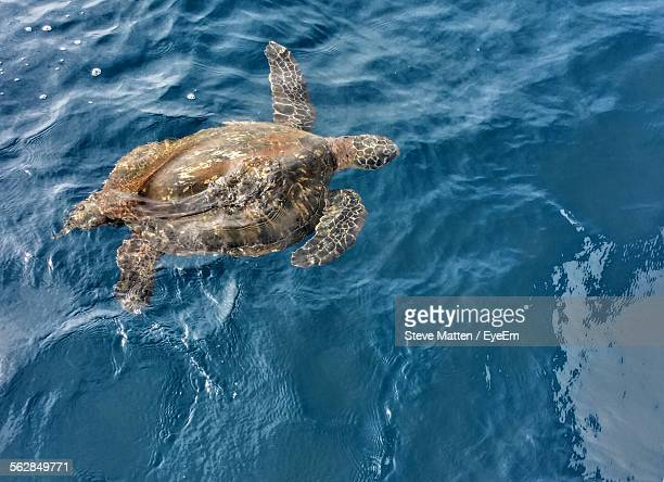 high angle view of turtle swimming in water - steve matten stock pictures, royalty-free photos & images