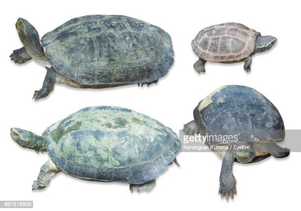 high angle view of turtles over white background - quatre animaux photos et images de collection