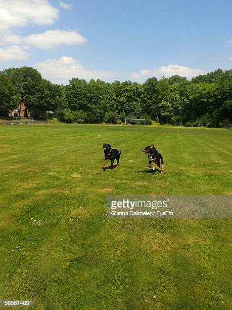 High Angle View Of Two Dogs Playing In Field