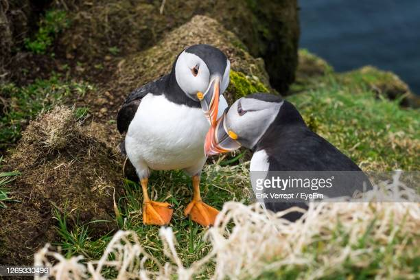 high angle view  of two puffins - precious lunga stock pictures, royalty-free photos & images