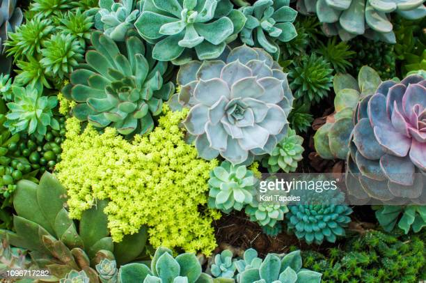 a high angle view of variety of succulent plants - succulent stock pictures, royalty-free photos & images